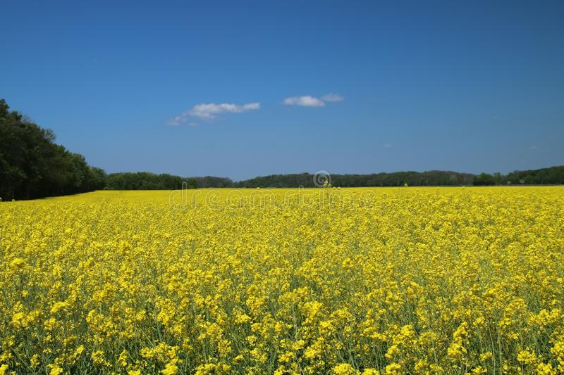 Rapeseed, Field, Canola, Yellow royalty free stock image