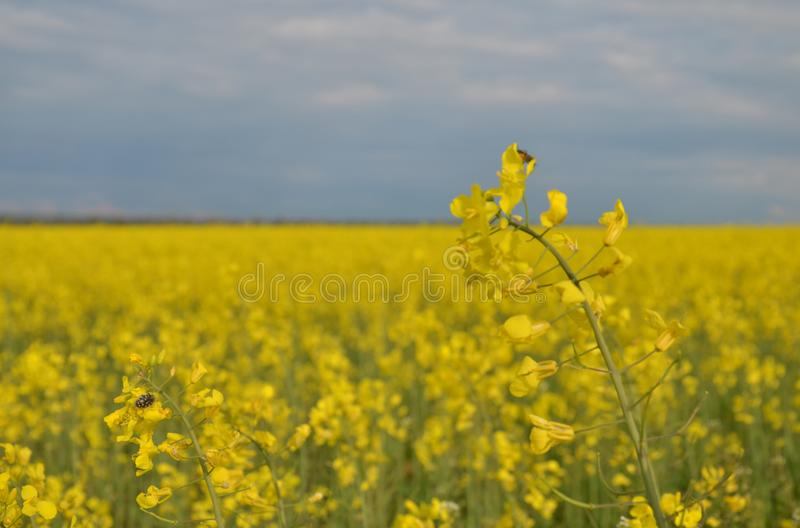 Blossoming fields of Russia. Early spring. South royalty free stock photography