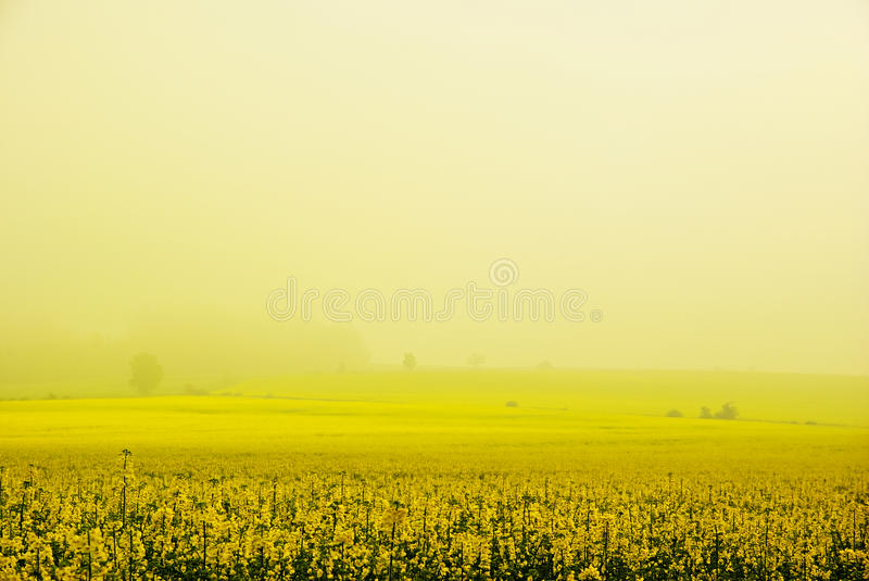 Rapeseed field. With fog at sunrise stock photo