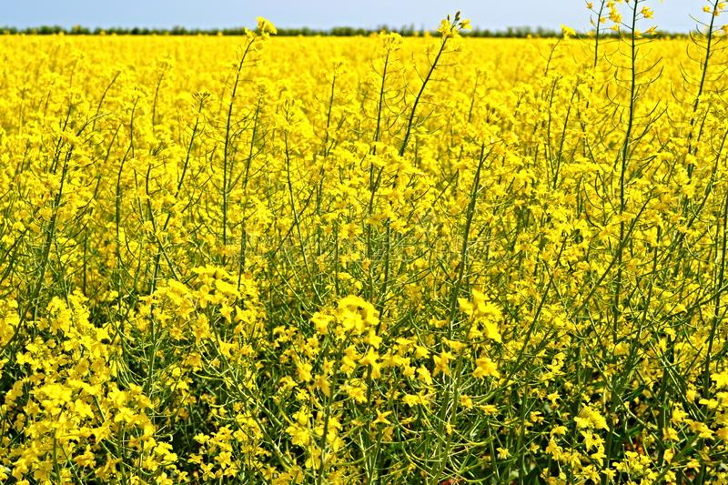 Rapeseed field. Global business. International business team. Global network. field of canola flower illustrations royalty free stock photos