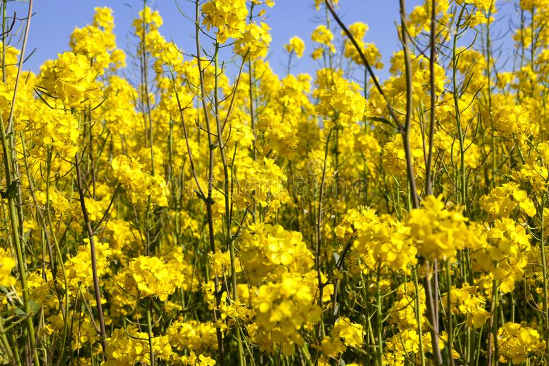 rapeseed in the field royalty free stock photos