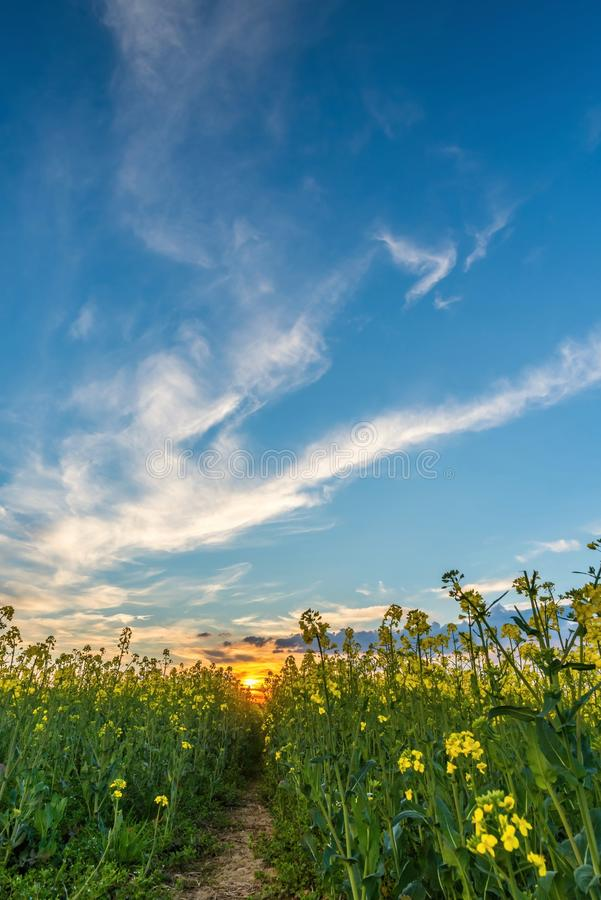 Rapeseed field from lower view with sunset and nice clouds stock photography