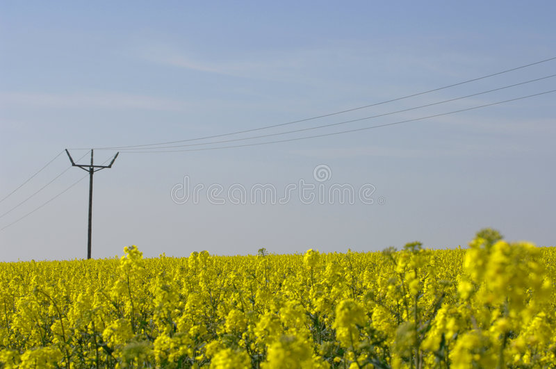 Rapeseed field + power lines royalty free stock photo