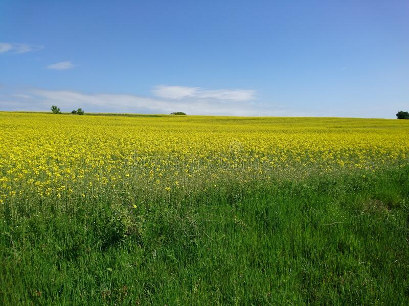 Rapeseed field. During the spring stock photos