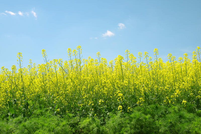 Rapeseed field. Spring landscape with rapeseed field royalty free stock photography