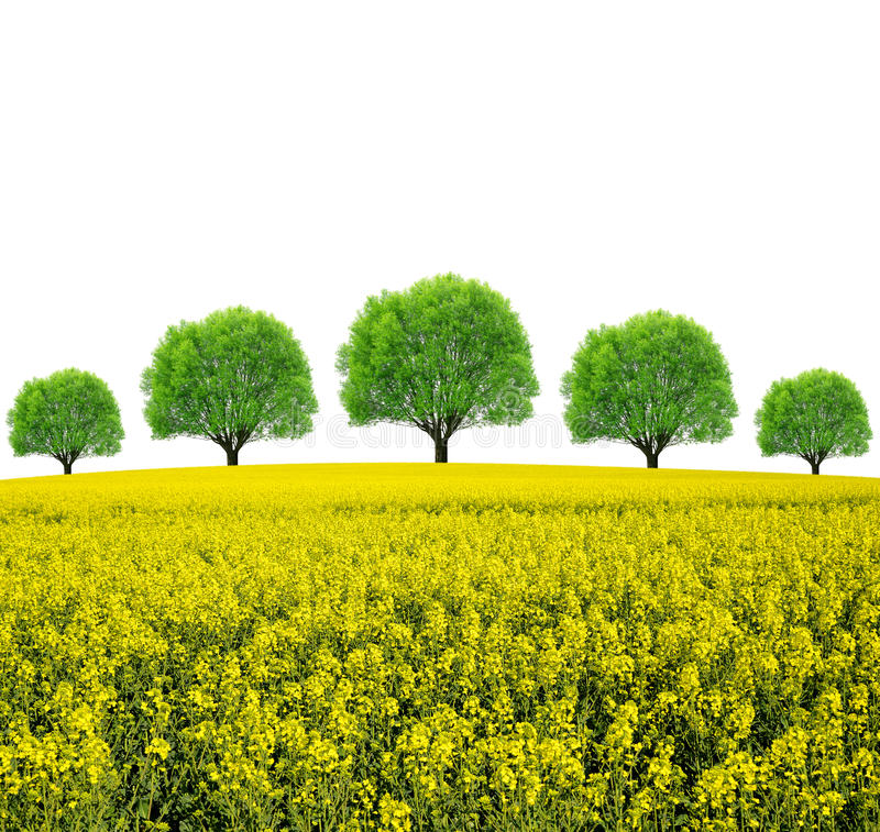 Rapeseed field with trees. On white background stock image