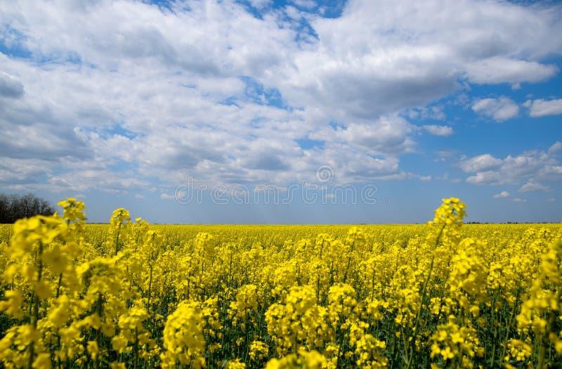 Rapeseed field. Yellow rape flowers, field landscape. Blue sky and rape on the. Field stock photos