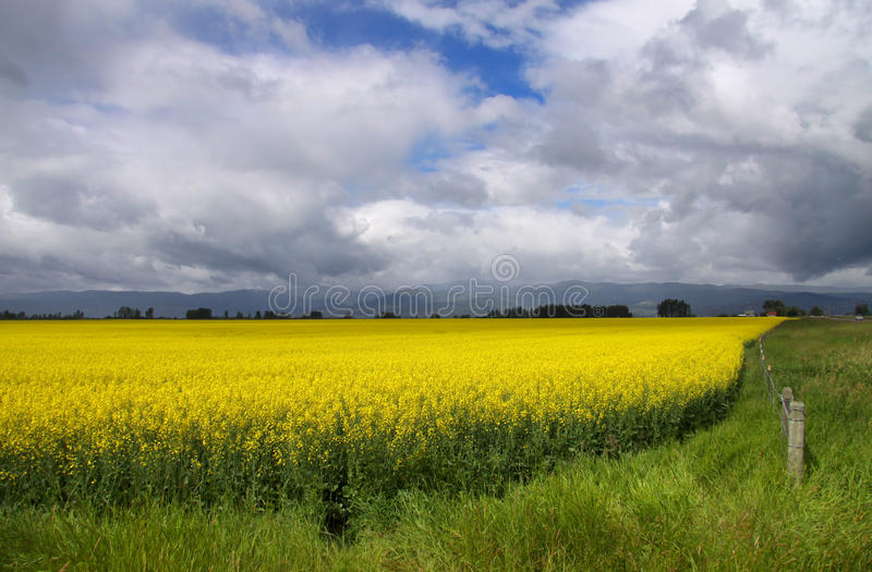 Rapeseed fields. Yellow rapeseed fields in Montana on a cloudy day stock photography