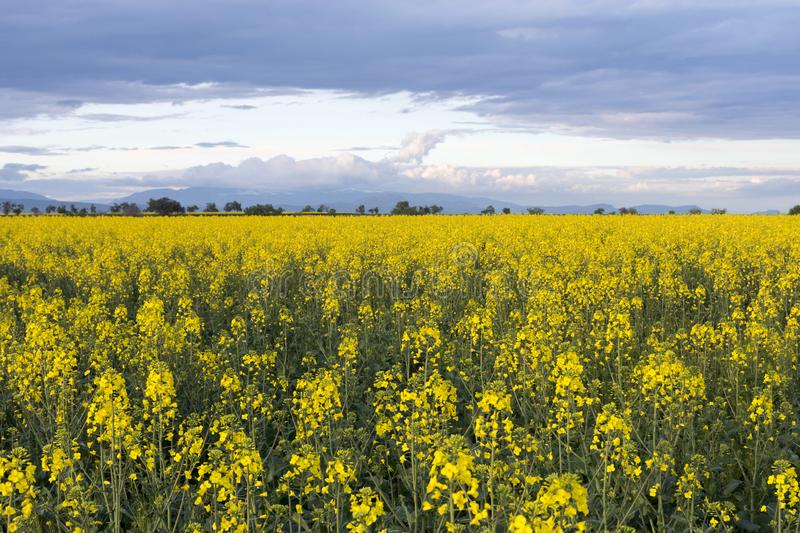 Rapeseed fields with a cloudy sky at sunset. Landscape with fields of rapeseed. Big clouds in a blue sky, in the sunset stock photo