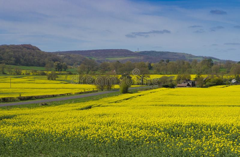 Rapeseed fields ,Sussex. Rapeseed fields between Midhurst & Petersfield royalty free stock image