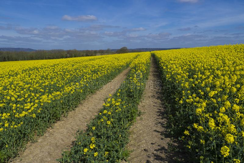 Rapeseed fields ,Sussex. Rapeseed fields between Midhurst & Petersfield royalty free stock photo