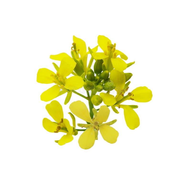 Rapeseed Flower stock image