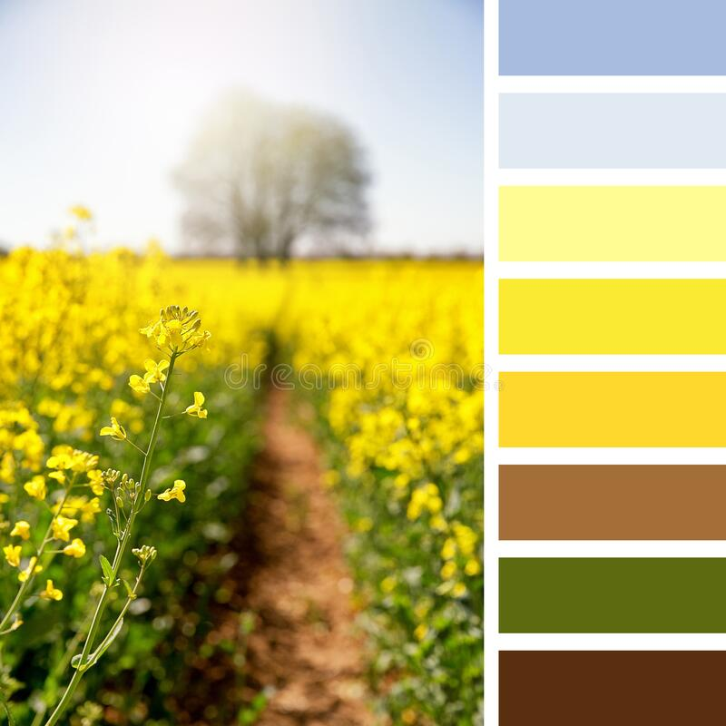 Rapeseed flower palette royalty free stock images