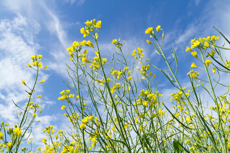 Download Rapeseed flowers stock photo. Image of development, flower - 38512574