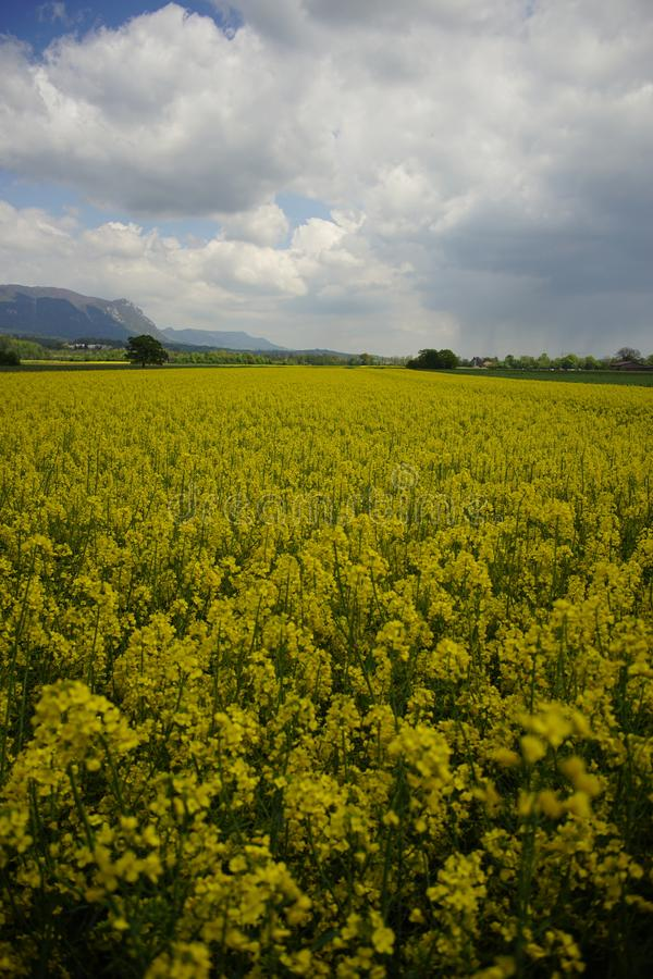 rapeseed gisement de fleurs de jaunes Fond wallpaper photo libre de droits
