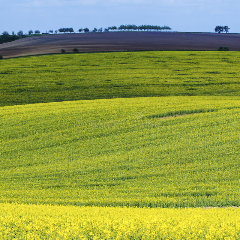 Download Rapeseed Koloru żółtego Pola W Wiośnie Zdjęcie Stock - Obraz złożonej z rolnictwo, kwiat: 53781068