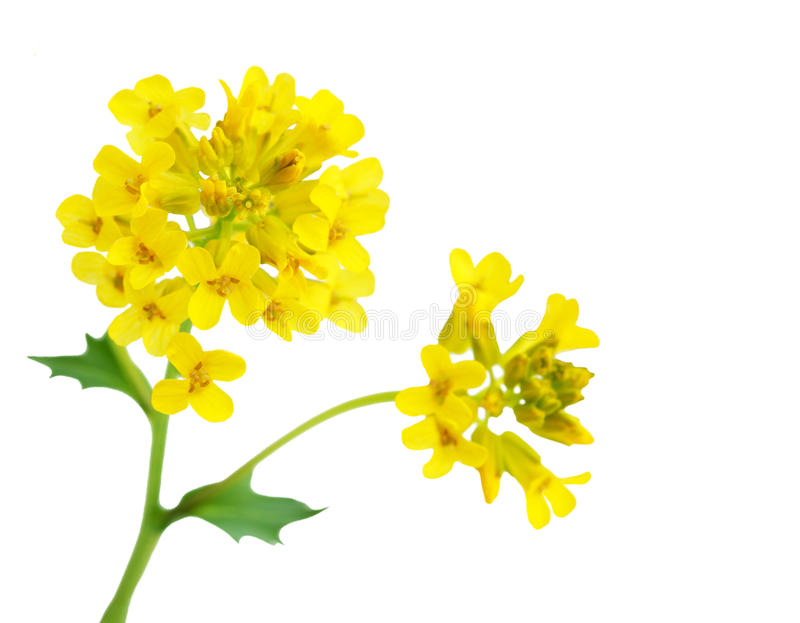 Rapeseed kwiat obrazy royalty free
