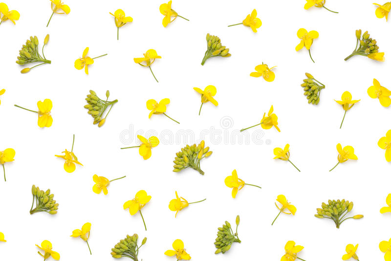 Rapeseed kwiaty Odizolowywający na Białym tle obrazy royalty free