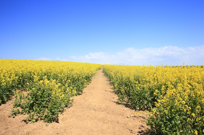 Rapeseed Oil , yellow fields of oilseed rape have become a feature of the British. Bright yellow fields of oilseed rape have become a feature of the British royalty free stock photography