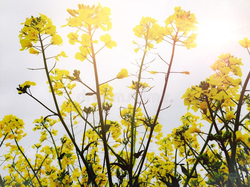 Rapeseed plant royalty free stock photos