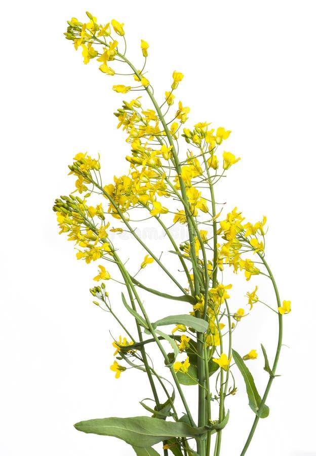 Rapeseed plant flowering stock photo