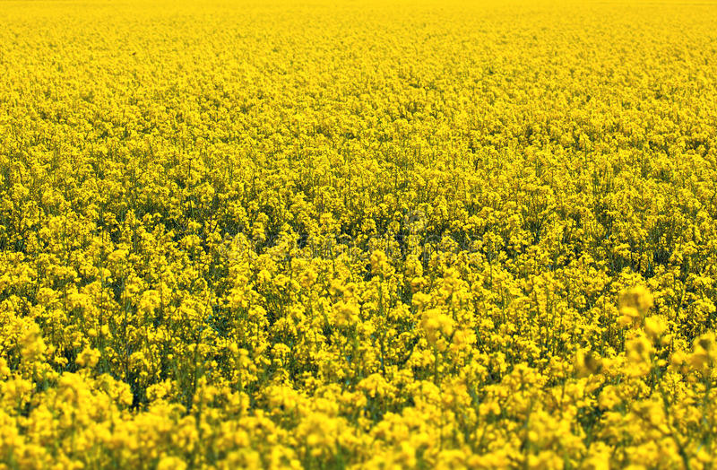 Download Rapeseed Plants In The Field Stock Photo - Image: 27707858