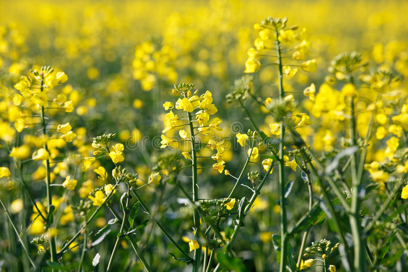 Rapeseed plants. GMO rapeseed plants on a huge field for production of biodiesel stock photography
