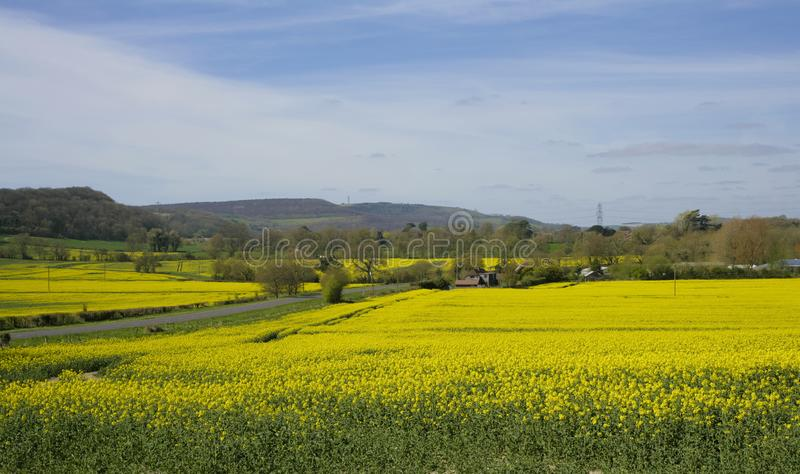 Rapeseed pola, Sussex obrazy royalty free