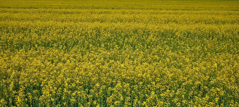 Rapeseed pole w Białoruś Wiele zielony żółty kolor i kwiaty fotografia stock