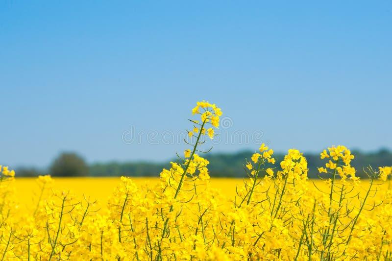 Rapeseed pole z żółtymi roślinami zdjęcie royalty free