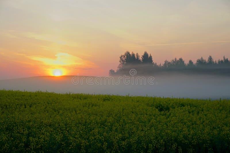 Rapeseed pole z mg??, wczesny poranek, wsch?d s?o?ca zdjęcie royalty free