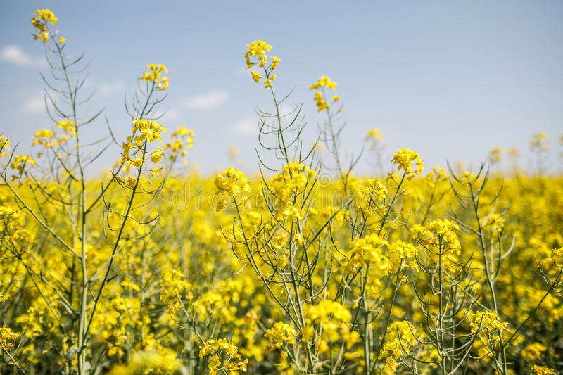 Rapeseed, rapeseed field, field with rape, blossoming field. Yellow Rapeseed field background. Field of bright yellow rapeseed in spring. Rapeseed, Brassica royalty free stock photography