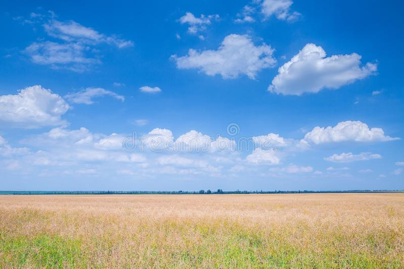 The rapeseed ripe in a huge field at sunny summer day. The harvest time. Agricultural, agriculture, bio, canola, country, countryside, crop, dry, earth, europe royalty free stock images