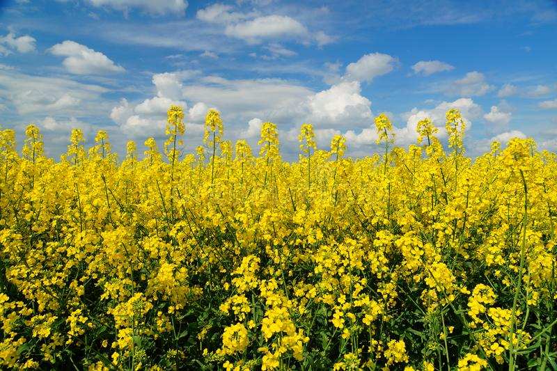 Rapeseed spring crop on farmland, member of the family Brassicaceae and cultivated mainly for its oil rich seed set against a dram. Rapeseed Brassica napus, also royalty free stock image
