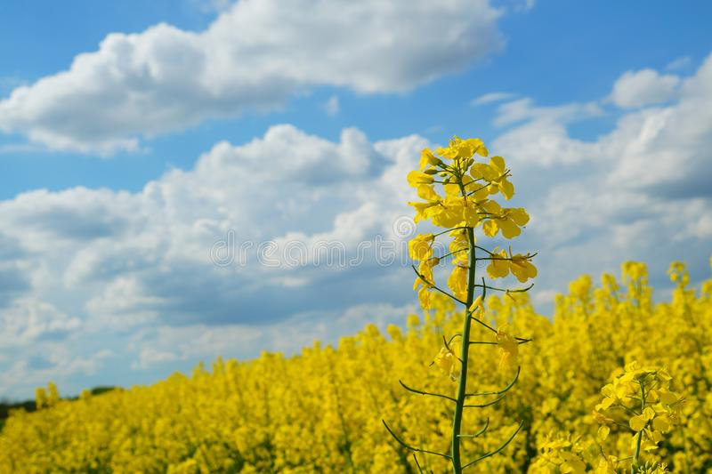 Rapeseed spring crop on farmland, member of the family Brassicaceae and cultivated mainly for its oil rich seed set against a dram. Rapeseed Brassica napus, also stock image