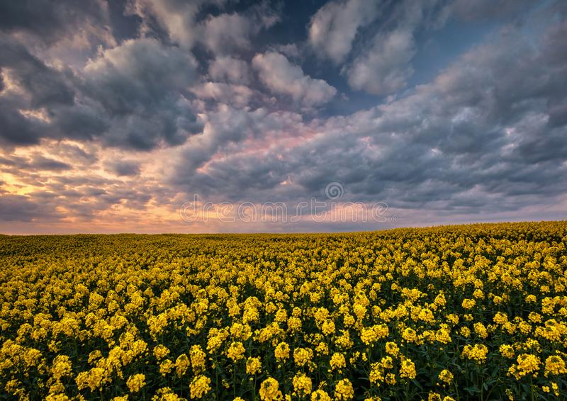 Rapeseed at Sunset. First Rapeseed crop of the season at Sunset, stunning contrast between the dramatic sky and yellow crop stock photography