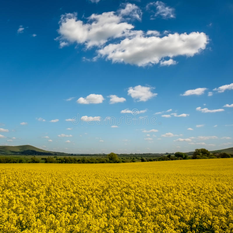Rapeseed w Tocznej Sussex wsi zdjęcie royalty free