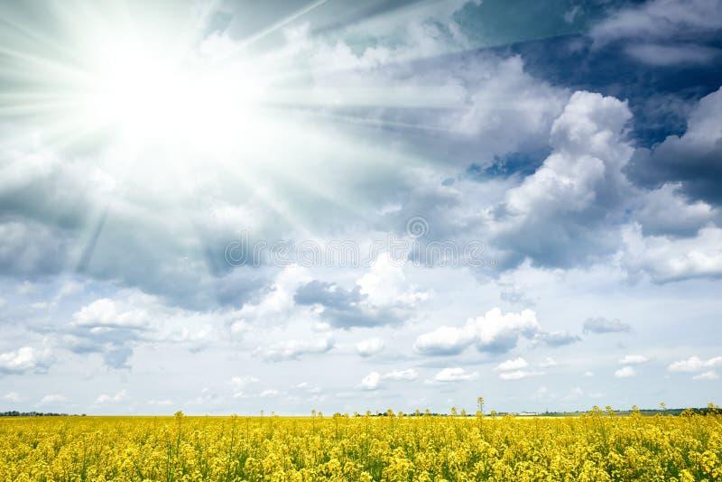 Rapeseed yellow flower field in spring season, beautiful landscape, bright sun stock photo