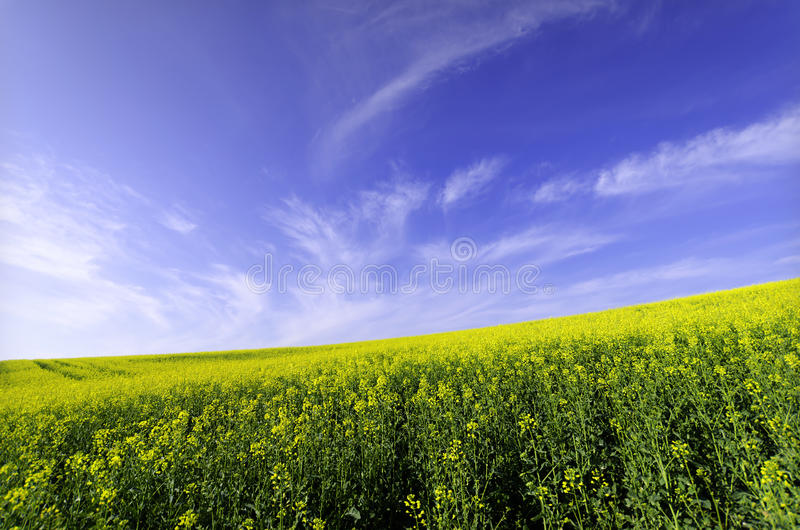 Download Rapessed Field Royalty Free Stock Images - Image: 22777679