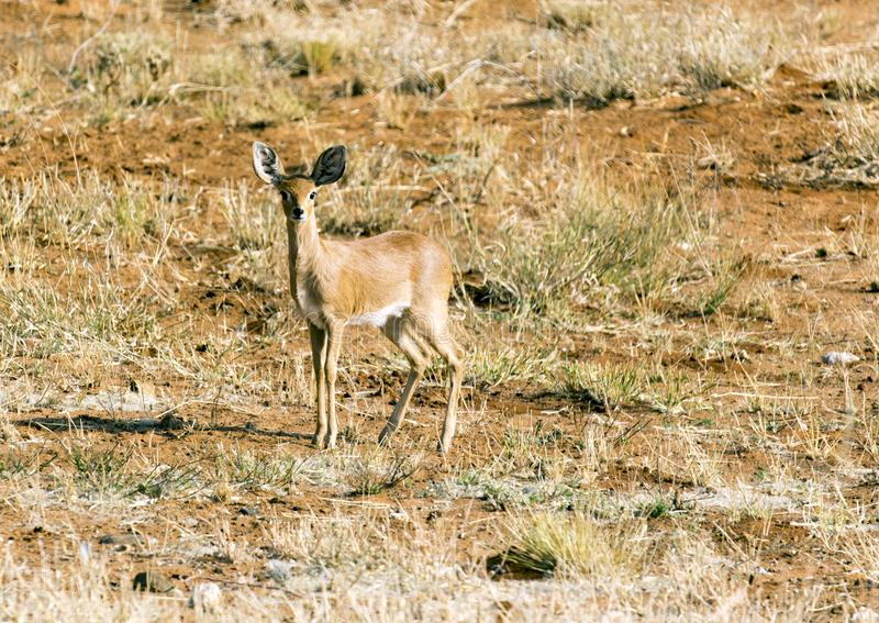 Raphicerus campestris in the Etosha national park. Namibia royalty free stock photos