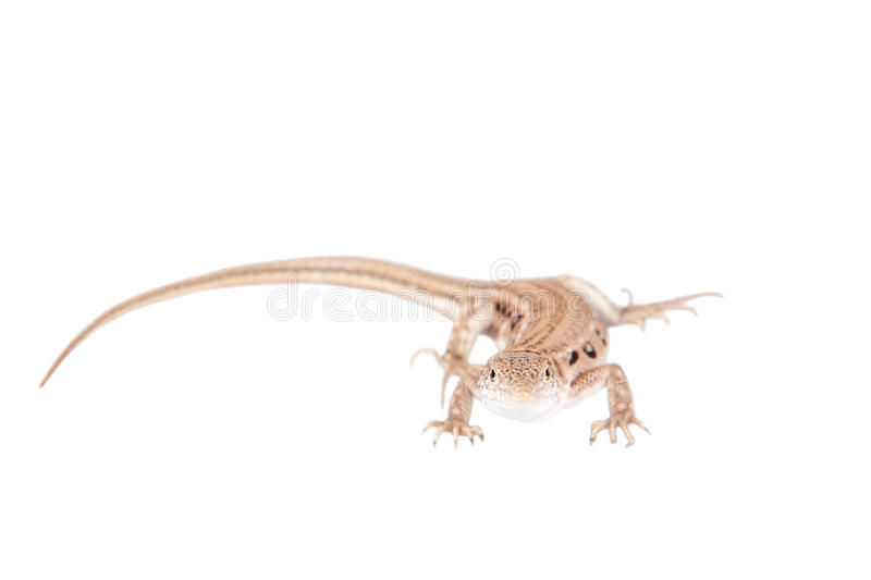 The rapid fringe-toed lizard on white. The rapid fringe-toed lizard, Eremias velox, isolated on white background stock images