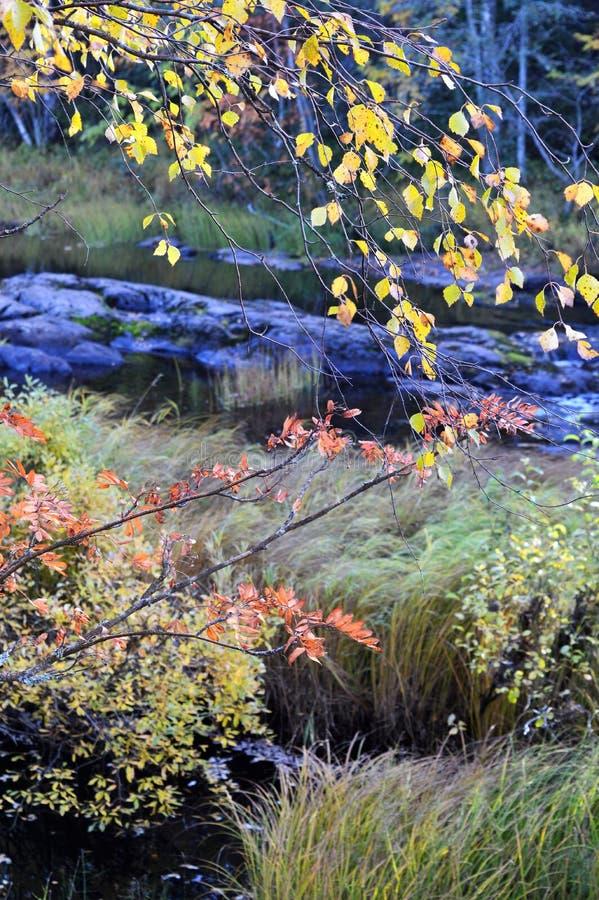 Rapide de Koiteli dans la chute Sorbe et bouleau dans des couleurs d'automne par la rivière image stock