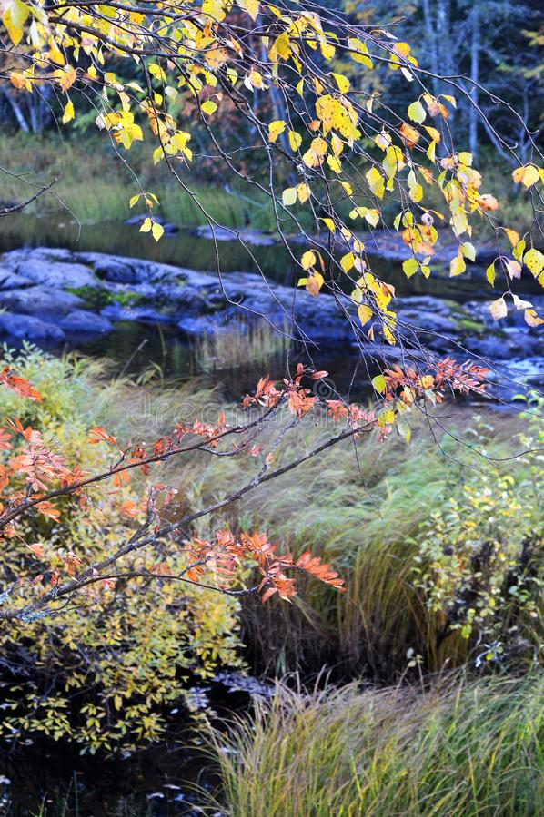 Rapide di Koiteli nella caduta Sorba e betulla nei colori di autunno dal fiume immagine stock