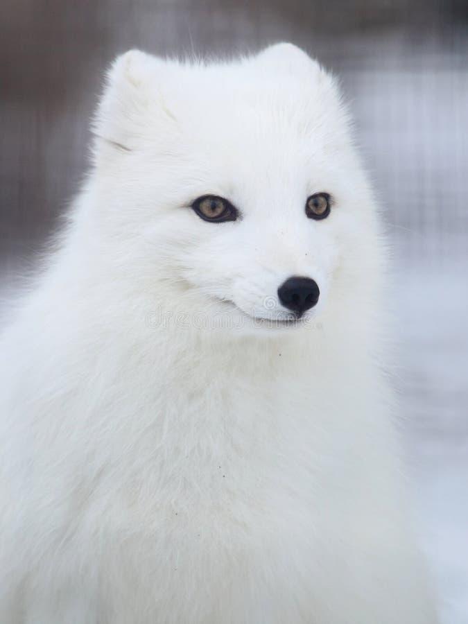 Raposa ártica foto de stock