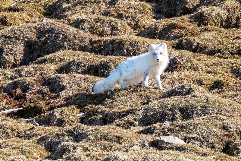 Raposa ártica com o revestimento do inverno em Svalbard imagem de stock royalty free