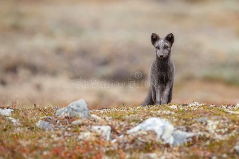 Raposa ártica em uma paisagem do outono foto de stock