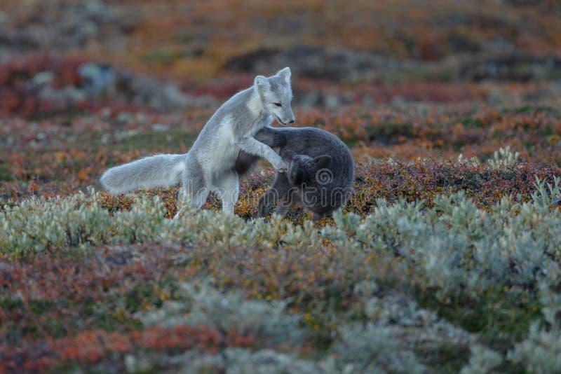 Raposa ártica em uma paisagem do outono fotos de stock