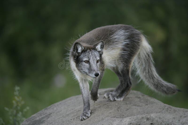 Raposa ártica, lagopus do Alopex fotografia de stock royalty free