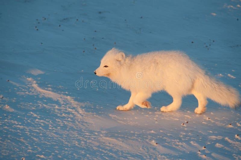 Raposa ártica na neve fotografia de stock royalty free