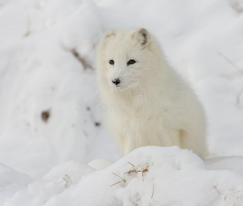 Raposa ártica no monte nevado no tempo de inverno fotografia de stock